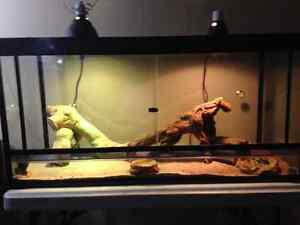 8 month old bearded Dragon with complete setup