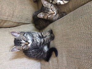Free Kittens (must go together)