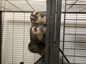 Two male ferrets one years only- healthy and fixed