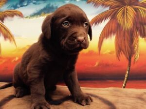 Pure bred chocolate lab puppies