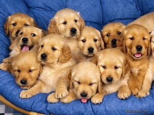 Golden Retriever puppy wanted!