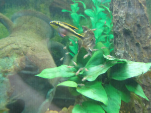 Kribensis fry For Sale *PRICED TO SELL