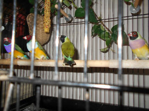 TWO BONDED BREEDING PAIRS OF QUALITY GOULDIAN FINCH .