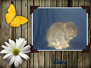 Holland Lop's