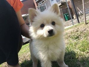 White and brown pure Pomeranians for sale