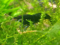 Crevettes Black King Kong Shrimp - eau douce/freshwater Aquarium
