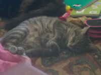 Adorable, playful male tabby free to good home