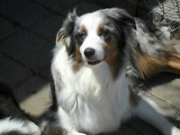 """Princess"": LOST: REWARD: Australian Shepherd Dog"