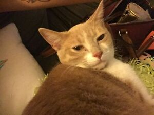 Free male spayed cat