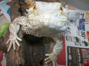 Adopt a bearded dragon - $20 fee. set up $60 Peterborough Peterborough Area image 1