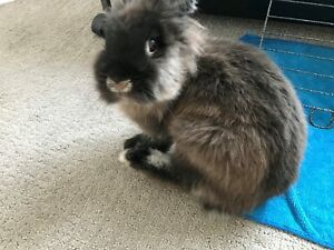 Adorable Lionhead Drawrf Cross looking for new home