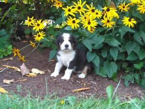 Greater Swiss Mountain Dog cross puppy