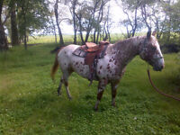 4 good trained horses for sale