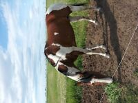 Paint Mare & Foal for Sale
