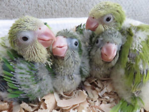 ** HANDFED BABY QUAKERS ** ONLY 1 LEFT TO RESERVE **