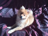 Very Young Female Pomeranian - Only 13 weeks old - urgently needs a good home