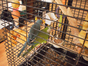 Mommy and Daddy Quacker Parrots