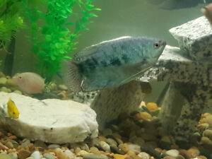 2 Blue Gouramis to rehome