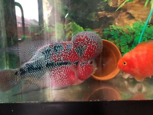 Flowerhorn less than 1 year old and parrot fish