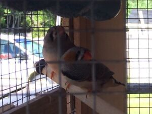 2 Finches with cage - 20$ GONE
