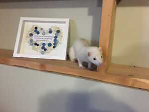 Young Female Ferret for Rehoming
