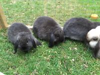 Sable mini lop buckd