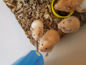 Cute baby male/female Syrian hamster!!!