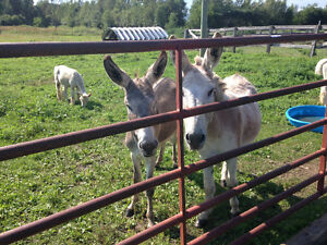 2 ânes super affectueux / 2 very affectionate donkeys
