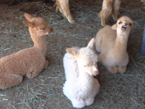 Baby llamas for sale