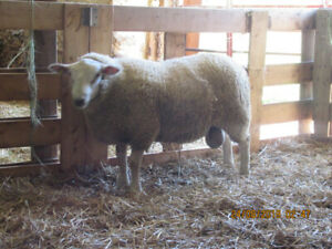 North Country Cheviot/Texel Ram for Sale