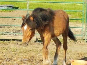 Newfoundland Pony colt for sale