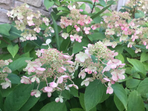 Extra Large Hydrangea Shrub with Lacy Flowers