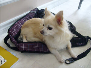 Chihuahua Missing ***REWARD***