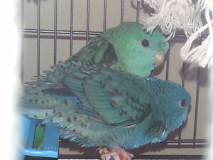 Baby Turquoise/Cobalt Linnies