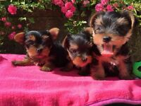 T cup / mini yorkie/ Yorkshire terrier puppies