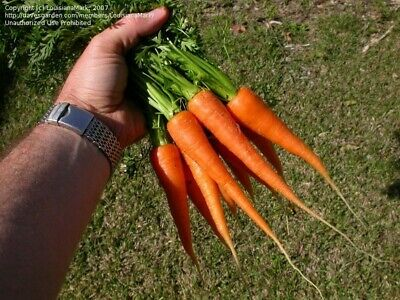 CARROT SEEDS, SHORT N SWEET, BURPEE, 2g SEED PACK, USA SELLER FREE SHIPPING