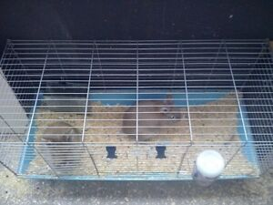 Lion Head Rabbits for SALE!! London Ontario image 7