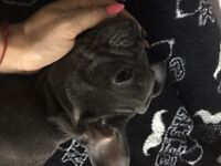 Kc reg french bulldog puppies choco and blue