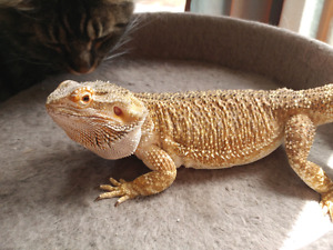 FRIENDLY FEMALE BEARDED DRAGON AND ALL ACCESSORIES