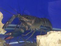 Blue crayfish £5