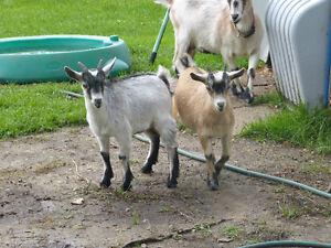 chèvres miniatures (bouc)