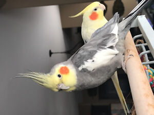 1 Year Old Male Cockatiel