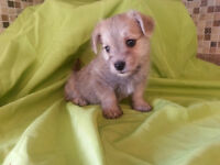 Little malchi was sold - Little morkies coming soon