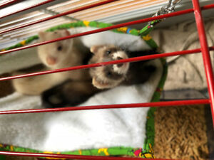 2 Baby Female Ferrets and Cage