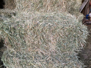 Goat cattle sheep hay Alfalfa hay for sale