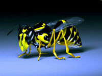 Wasp & Hornets exterminator starting at $99