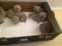 British shorthair BSH, lilac and blue kittens