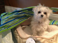 Lost, PLEASE HELP. White Female Maltese Dog In Brampton
