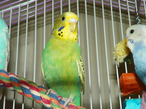 2 BUDGIES FOR SALE ASKING $25 EACH. THEY DO NOT COME WITH CAGE