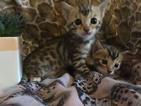 Two stunning gold rosetted Bengal kittens for sale